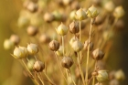 Q: What are the phytoestrogens in soy and flax seeds? Are they good for me?