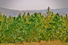 Hemp and the Farm Bill