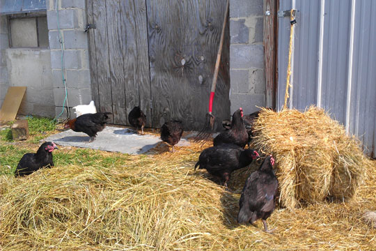 Free range chickens at Hemlock Hill Farm
